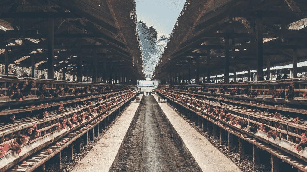 gambar 1 jenis usaha peternakan ayam